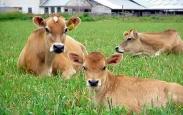 крави_2