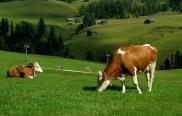 крави_1